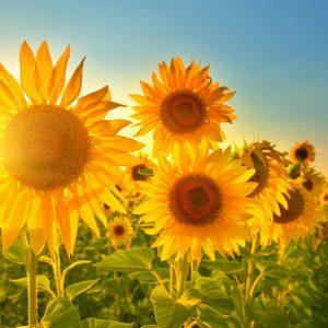 Sonnenblumenfeld während eines Sonnenuntergangs